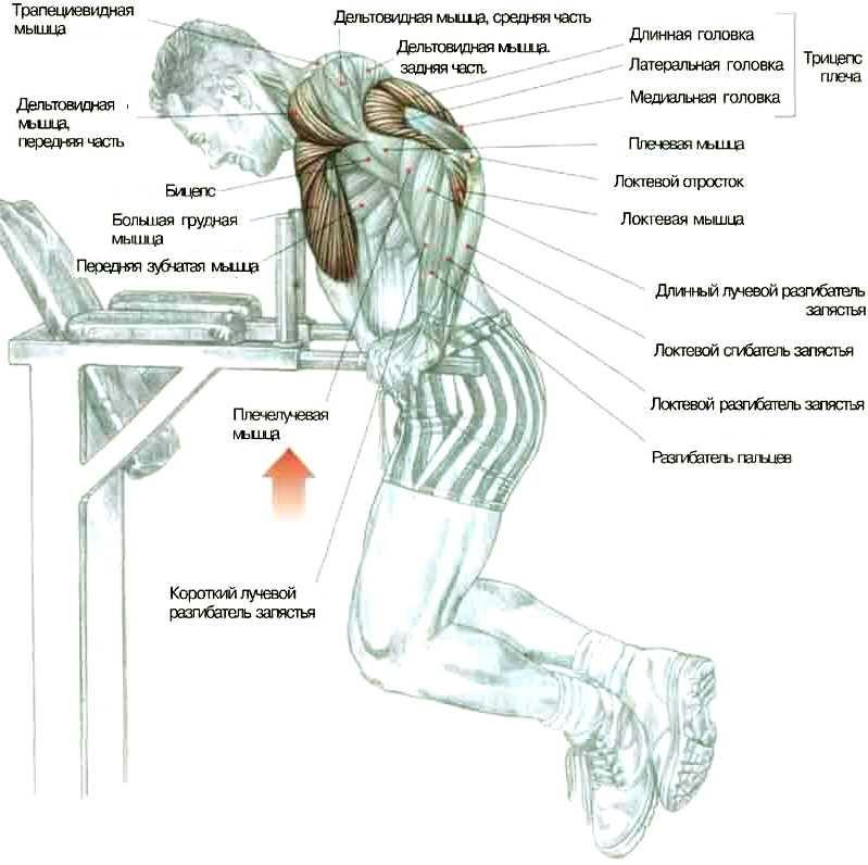 Базовое упражнение: отжимание на брусьях, в 50-е годы, считалось базовым упражнением для развития грудных мышц для...
