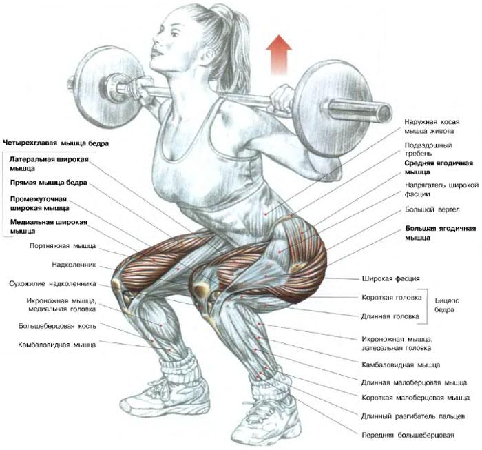 Анатомия приседания со штангой