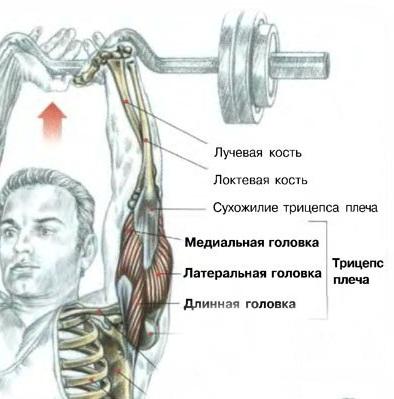 Упражнения на трицепс - анатомия