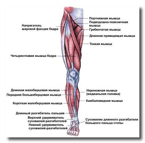 представлена мышцами: