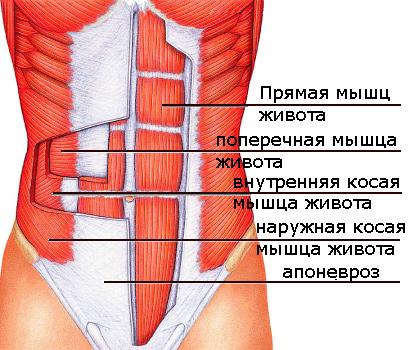 В верхней части пресса мышцы