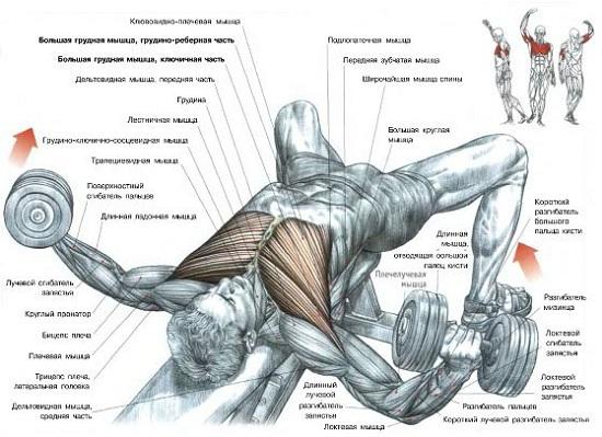 части грудных мышц,