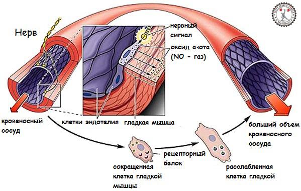 Польза для здоровья организма Оксида Азота