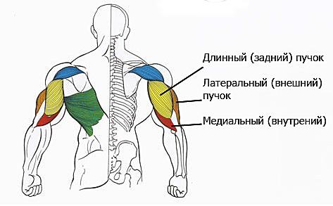 анатомию рук