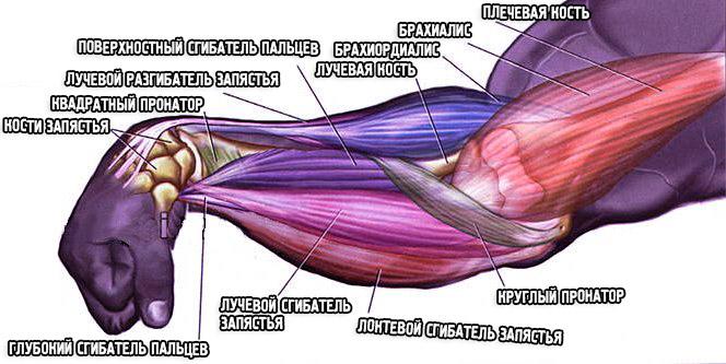 Вникаем в анатомию предплечий